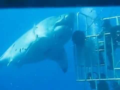 Le requin blanc le plus grand du monde
