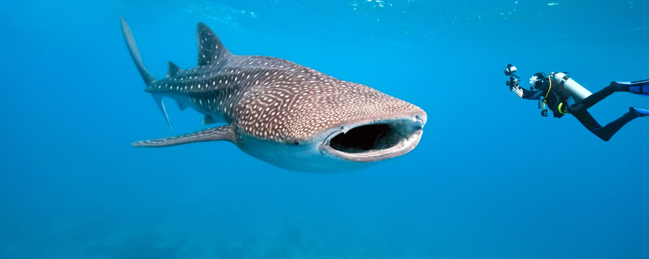 entete_img_whale_shark_and_underwater_photographer_shutterstock_krzysztof_odziomek_70078366